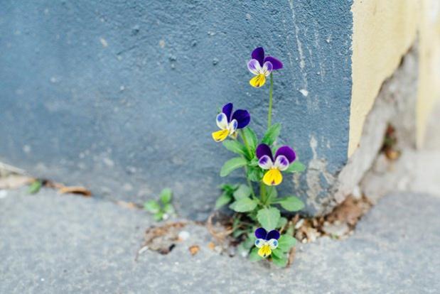 Cinq plantes comestibles que l'on peut trouver partout