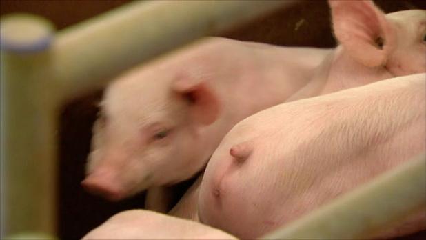 Varkenspest kost veeboeren half miljard, sector vraagt om actie