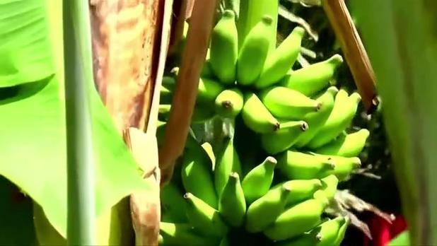 """La banane """"low cost"""" inquiète les producteurs"""