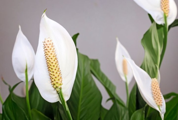 Wetenschappers onderzoeken welke luchtzuiverende planten meeste effect hebben