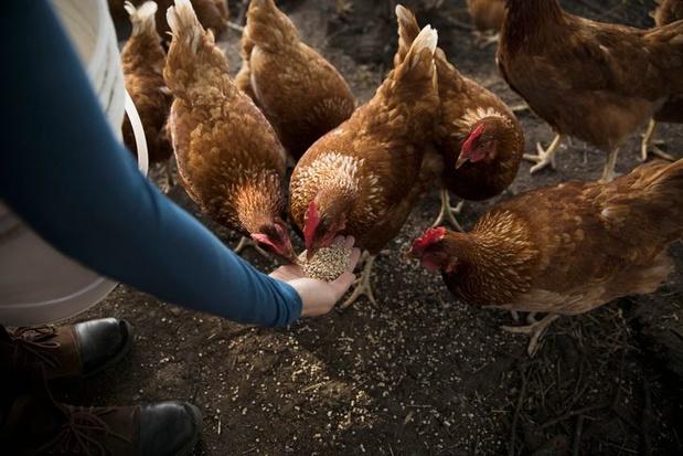 Als je buur kippen houdt: de regels
