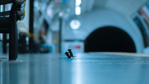 Le combat entre deux souris dans le métro élu prix du public du Wildlife Photographer of the Year