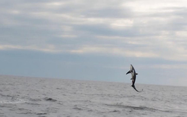 'Zeer zeldzame' haai gespot in Noordzee, biologen uit hun dak