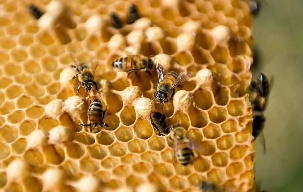Le printemps maussade provoque une récolte catastrophique de miel en Belgique