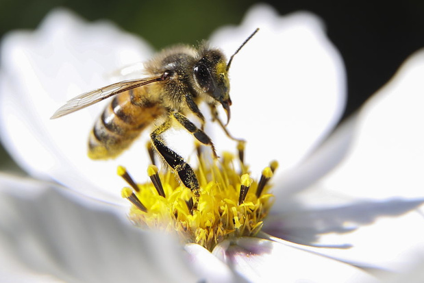 Les abeilles ont une addiction à la caféine