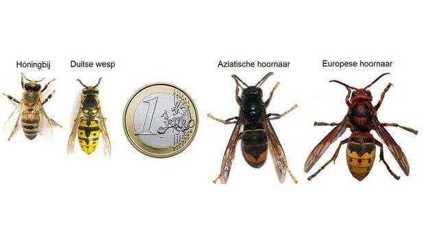 Knokke-Heist maakt jacht op de Aziatische hoornaar