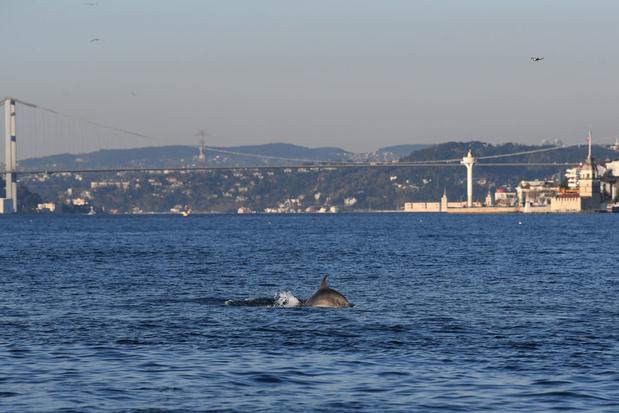 A Istanbul, les dauphins profitent du Bosphore, anormalement calme grâce au confinement  (images)