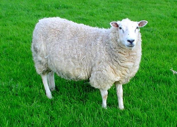 KUL-onderzoekers laten schapen antilichamen produceren met gentherapie