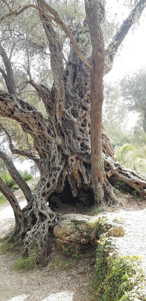 C'est beau comme le vieil olivier d'Ivanovi? (chronique)