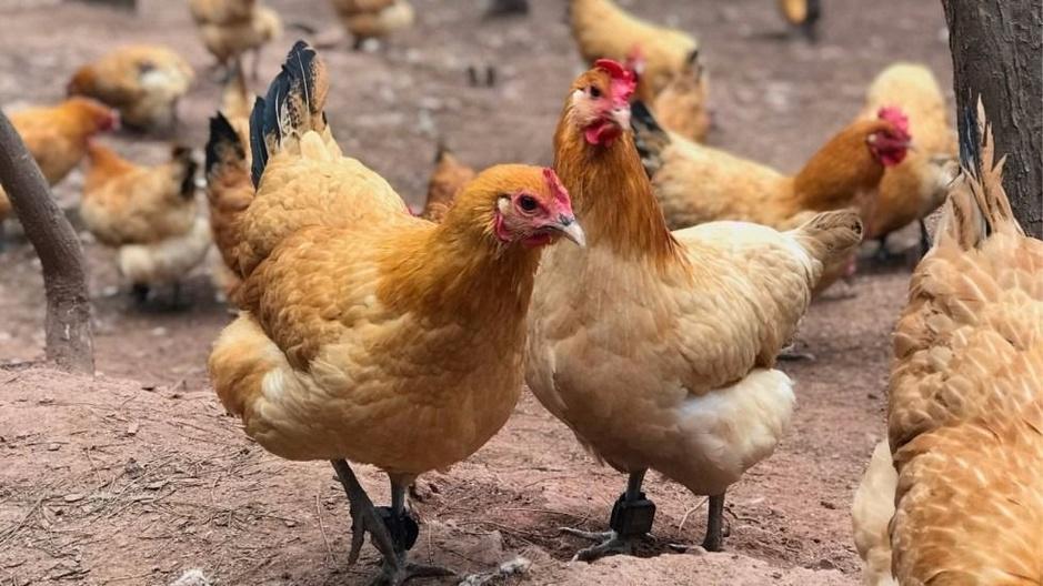 Factcheck: Nee, dit krantenartikel uit 1989 gaat niet over covid-19 maar over coronavirus bij kippen