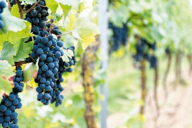 Groeiende wijnsector vraagt meer ondersteuning van overheid