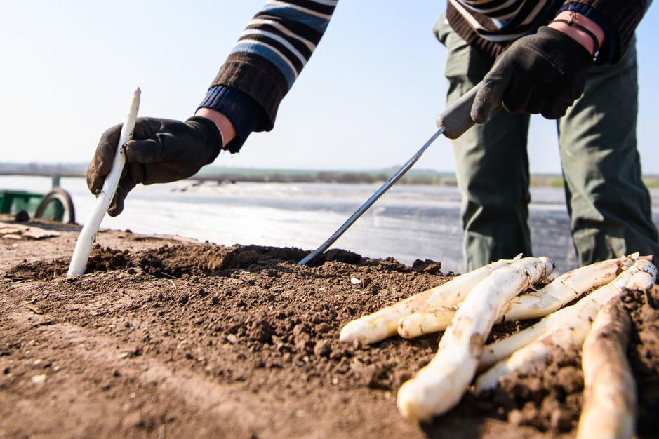 Vlaamse landbouwsector smeekt om seizoenarbeiders