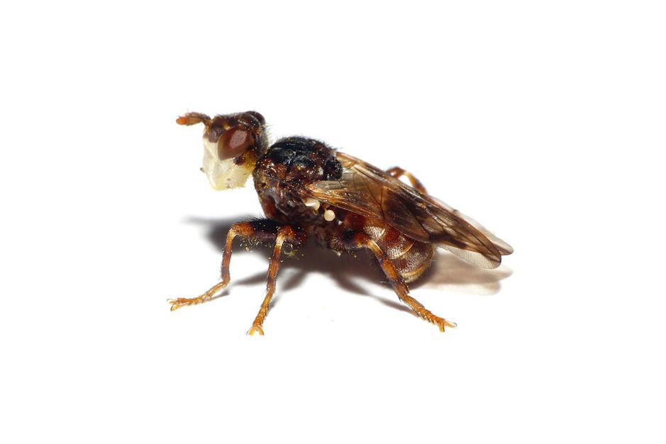 Beestenboel: blaaskaakjes lokken botsing met bijtjes uit voor voortplanting