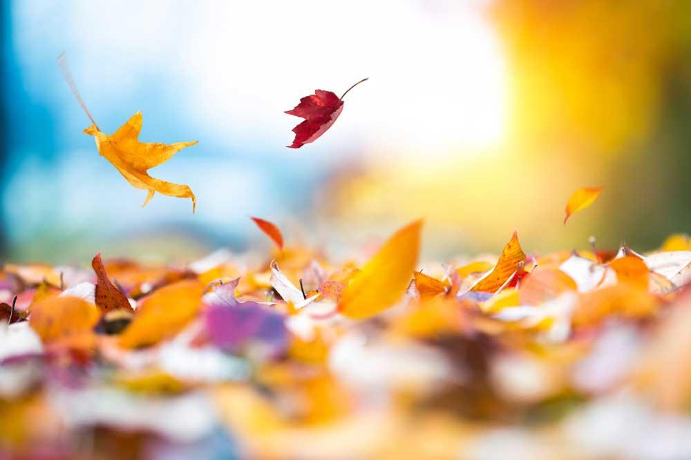Waarom vallen sommige blaadjes vroeger en andere later deze herfst?, Getty