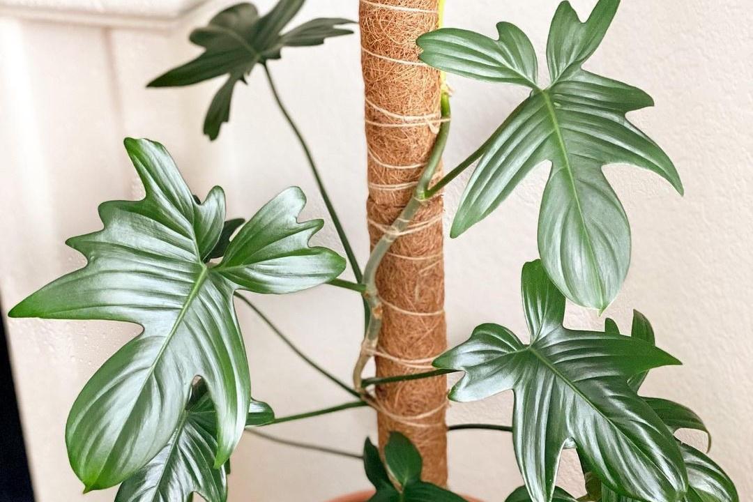 Philodendron pedatum, Instagram @galgrowsgreen