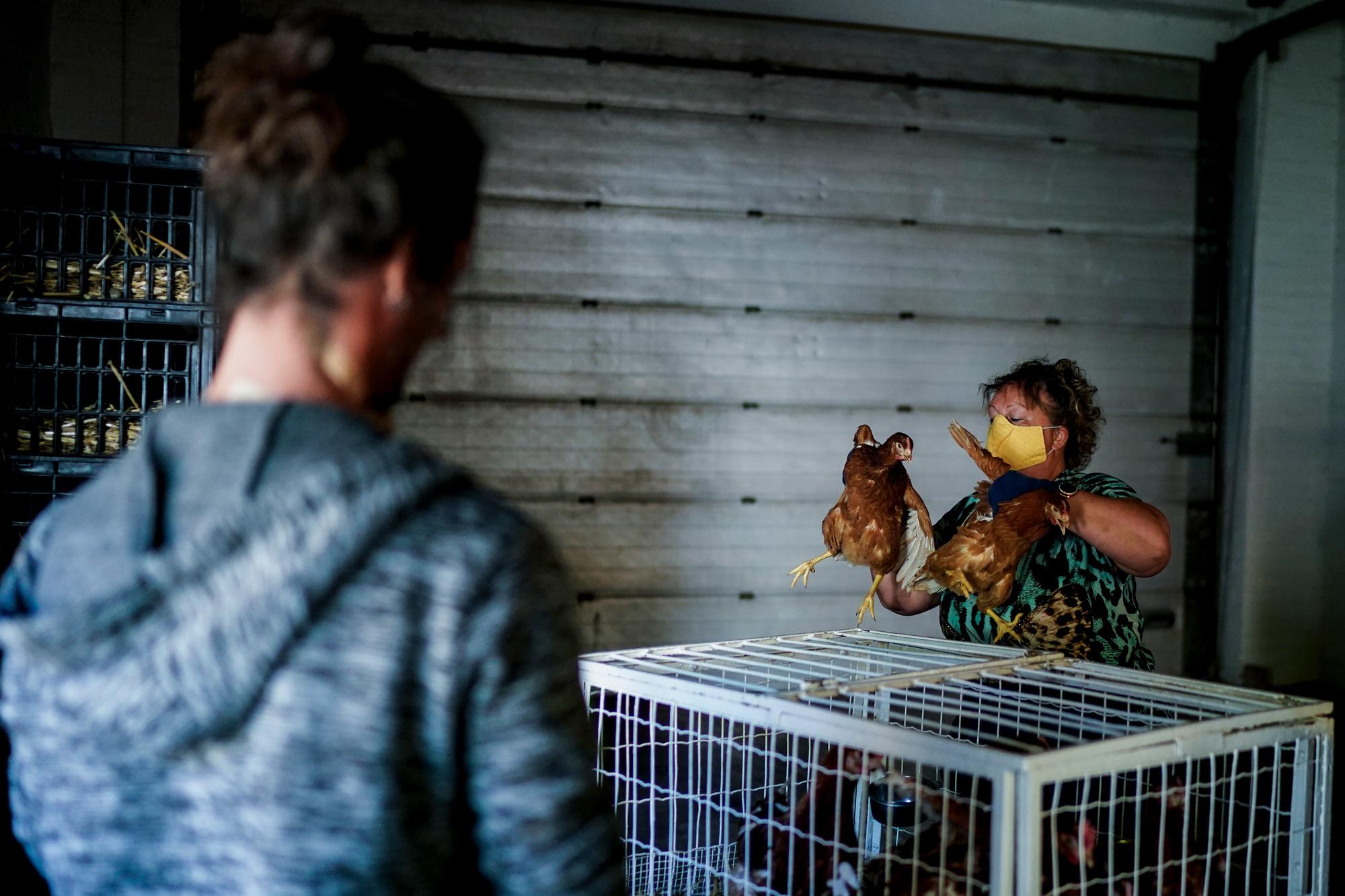 Elevage de poules à Limal (Wavre), belga