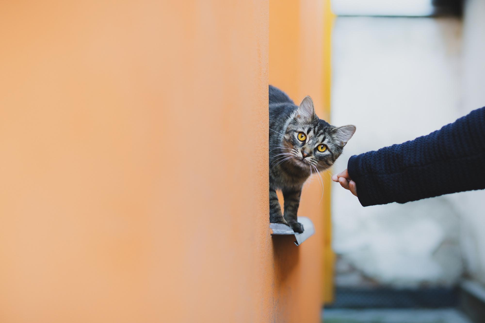 De aanwezigheid van de kat in menselijke omgevingen komt onder druk te staan, Getty