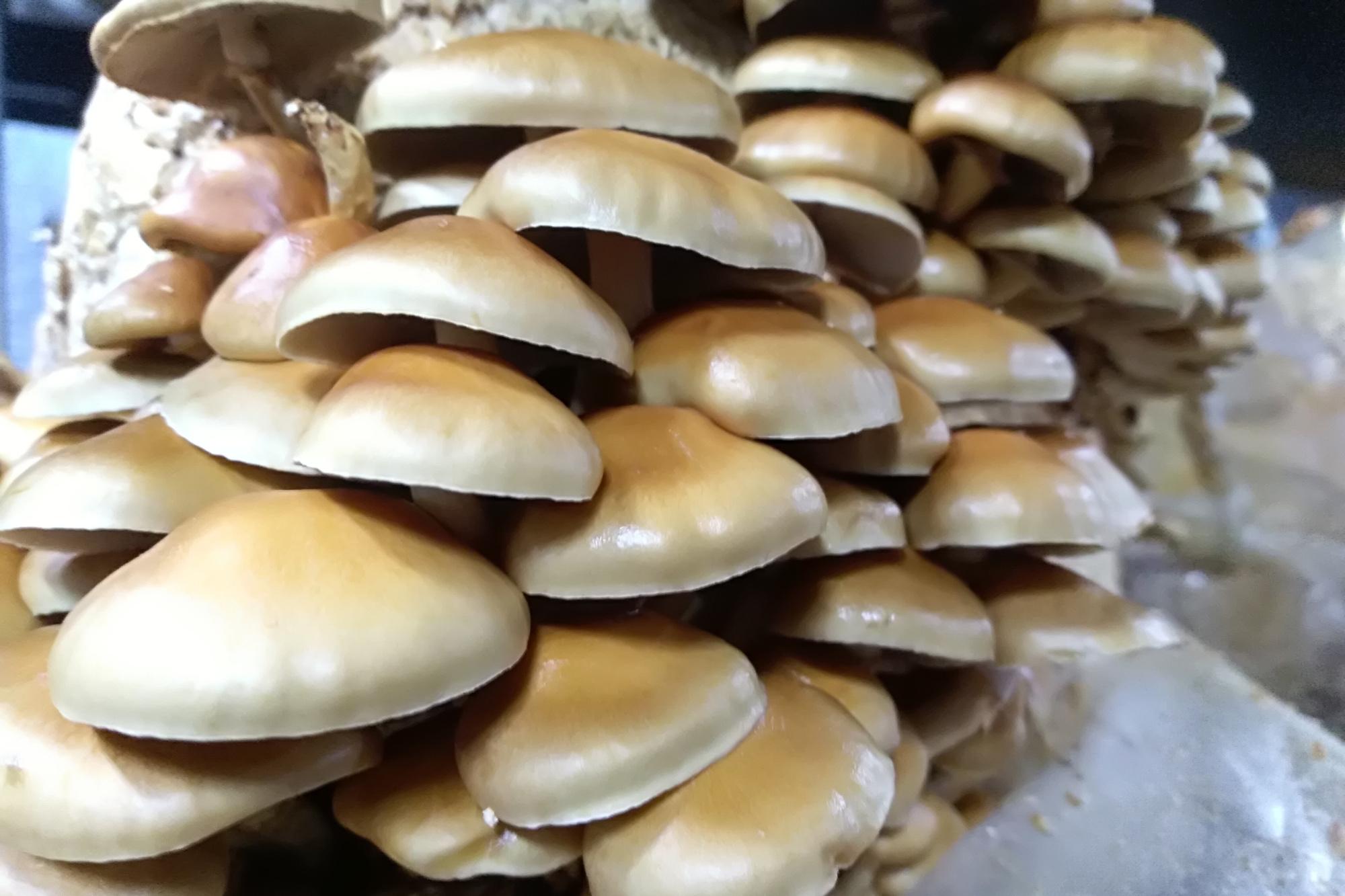 A la fin du procédé, lorsque le mycélium s'est assez développé, les shiitakés sortent du sachet., Stagiaire Le Vif