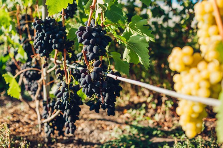 La Kodrianka bleue est une variété de vigne de table cultivée en Moldavie., Getty Images