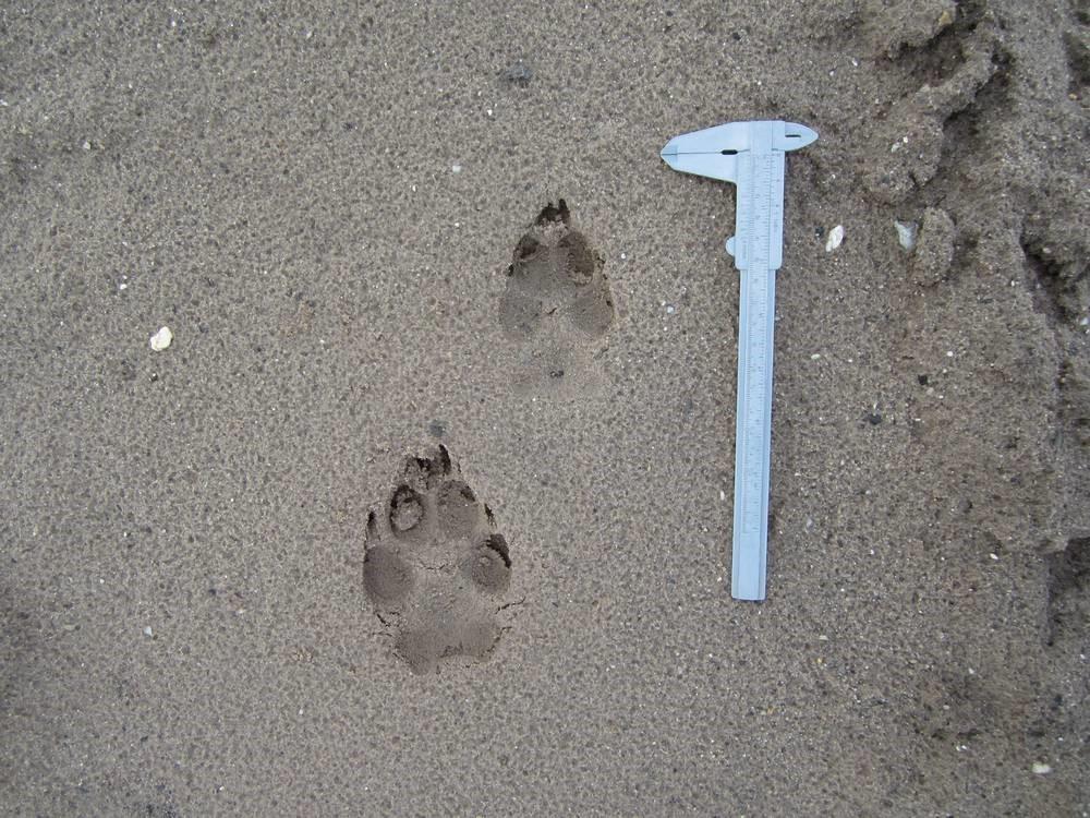 Foto van pootafdrukken van voor- en achterpoot van wolvin Naya., Diemer Vercayie