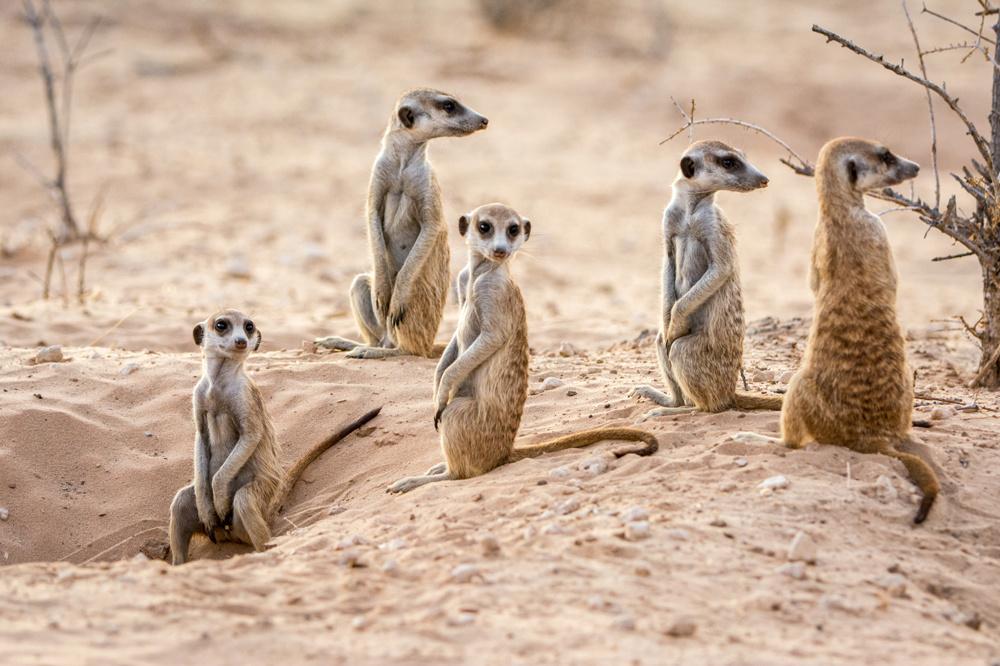 Un groupe de suricates, Getty