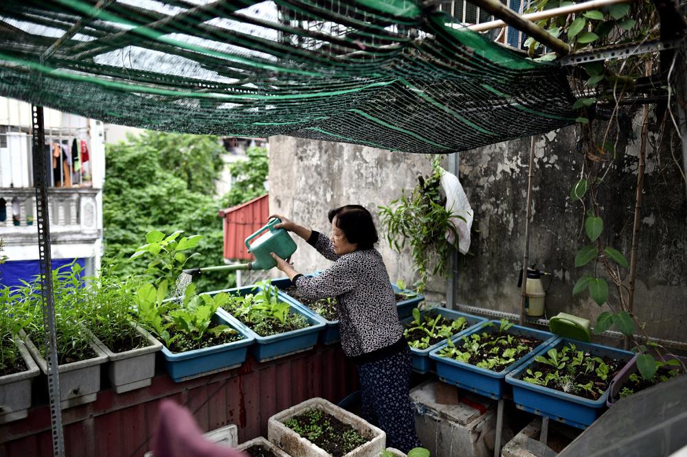 Le Thi Thanh Thuy, 69 ans, arrose ses plantations sur sa terrasse, à Hanoï, AFP
