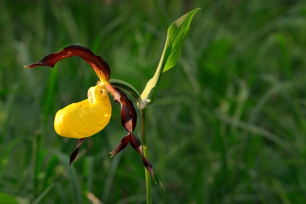 Orchidee, Ivar Leidus, Wikicommons