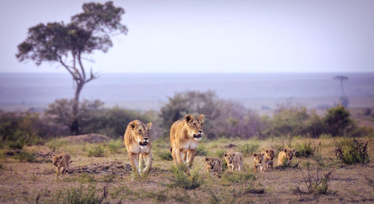 Leeuw, Getty Images