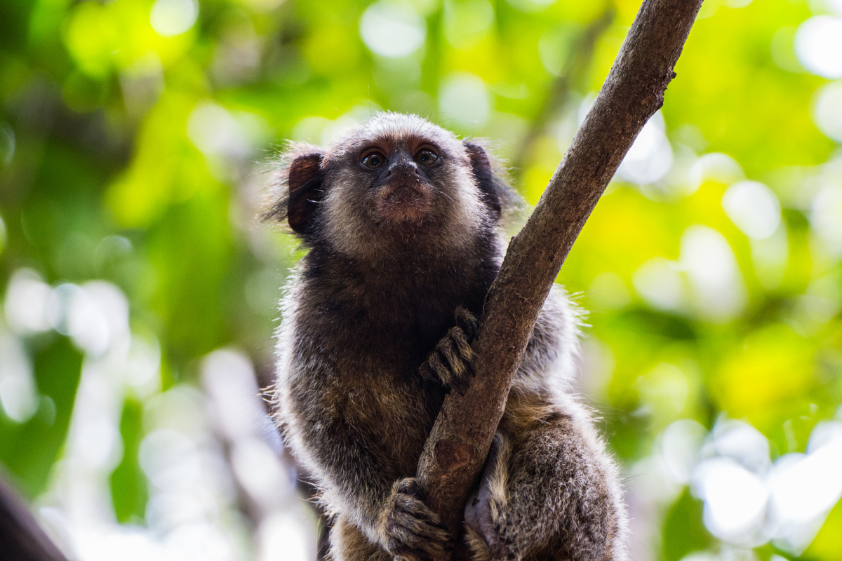 Marmoset, Getty Images
