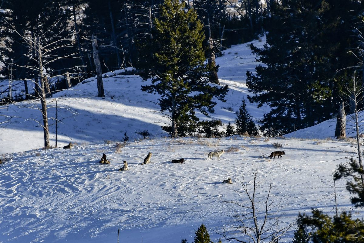 Een groep wolven in Yellowstone, Getty Images