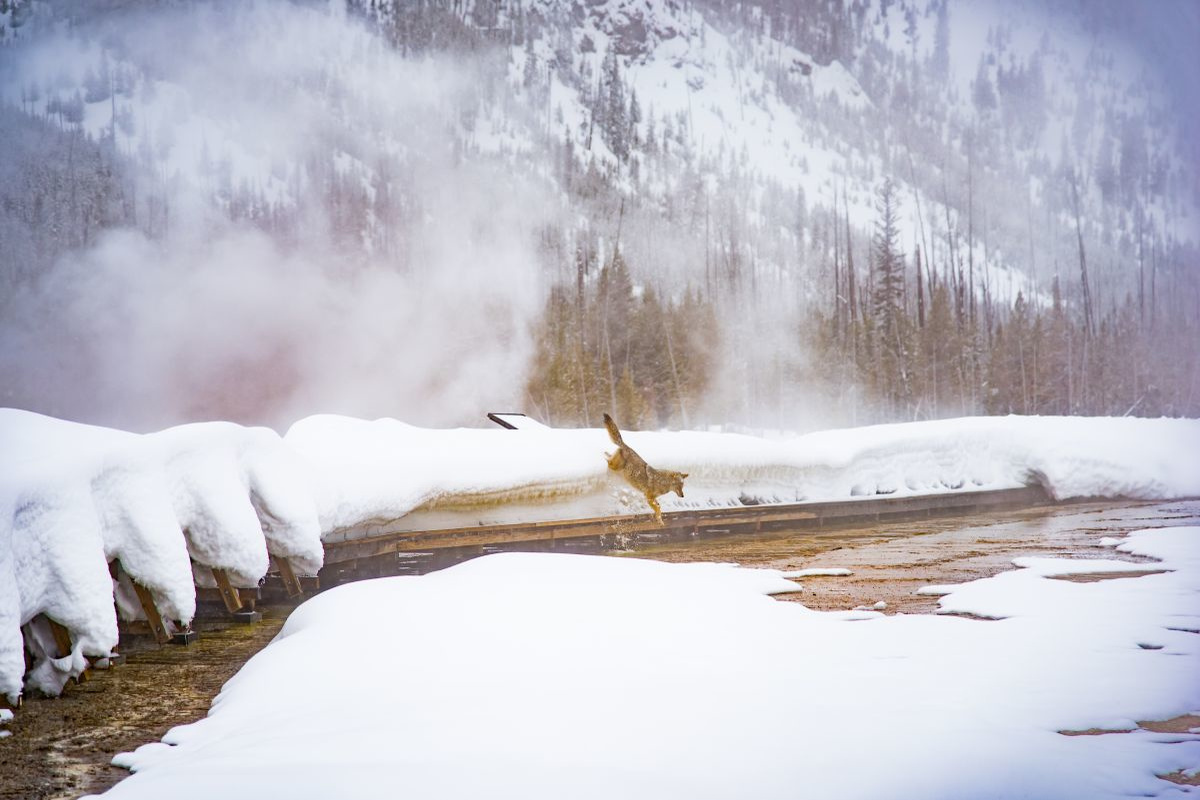 Coyote in Yellowstone, Getty Images