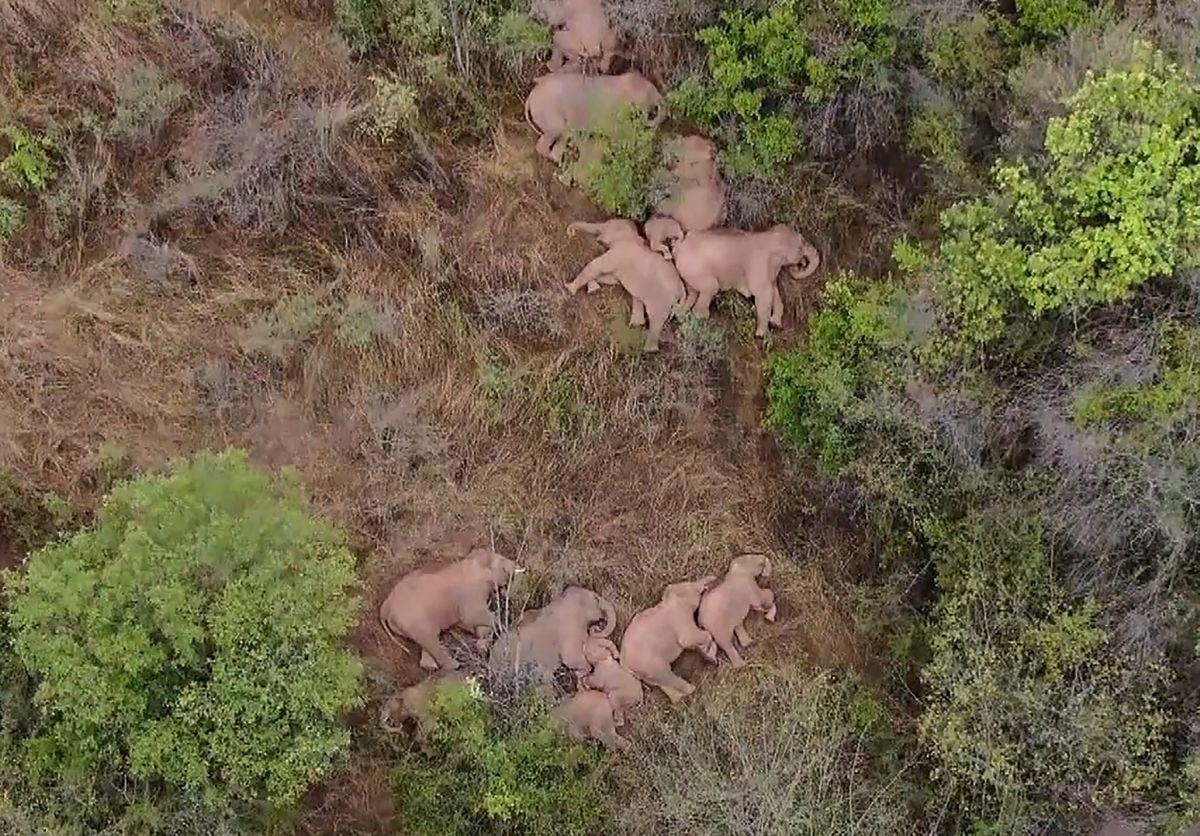De kudde rondtrekkende olifanten rust even uit. , AFP