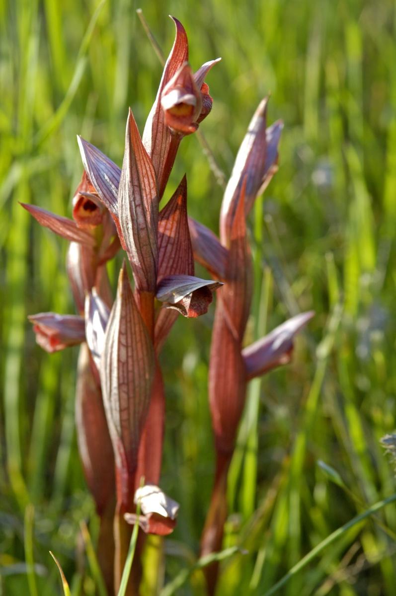 Serapias parviflora, Getty Images