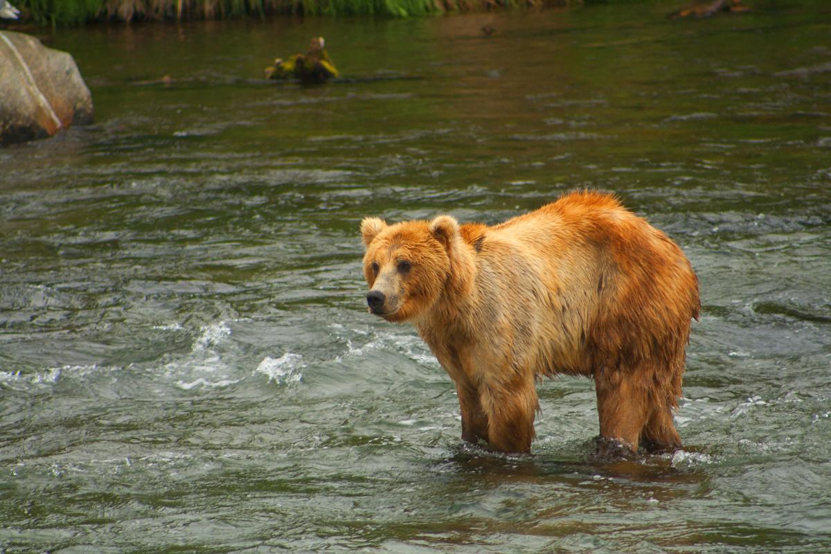 Een Katmai beer aan het einde van de winterslaap. , Getty Images