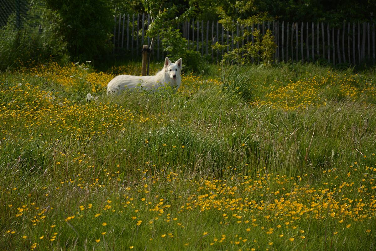 Ook de hond van Paul van Nuffel wist het Maai Mei Niet-gazon te smaken., Paul Van Nuffel