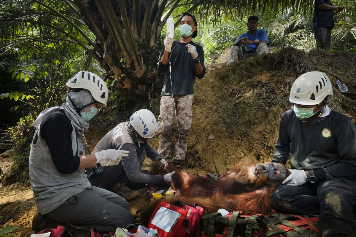 Alain Schroeder met zijn reportage 'Saving Orangutangs', Nikon Press Photo Awards 2020