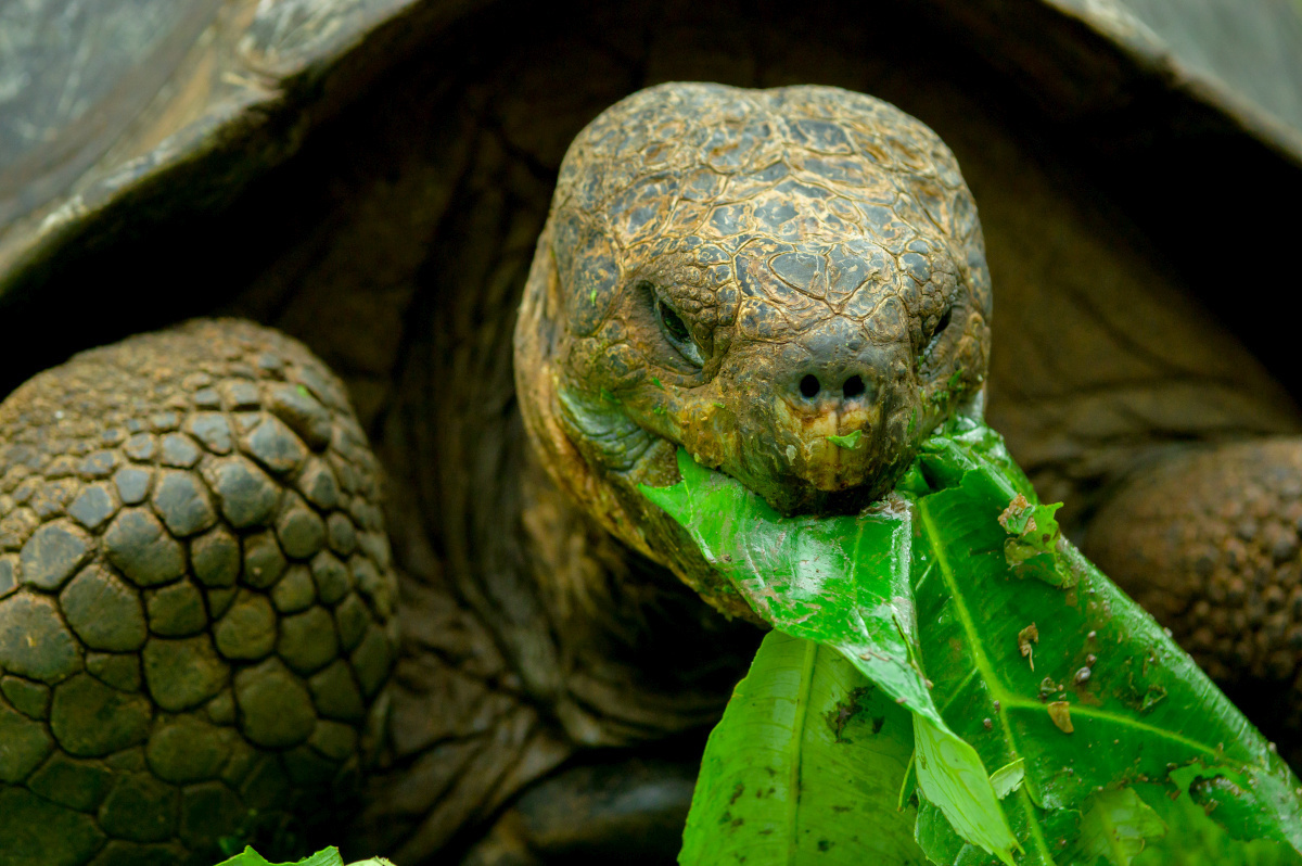 Reuzenschildpad, Getty Images