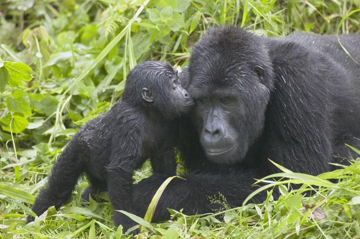 Gorilla, Getty Images