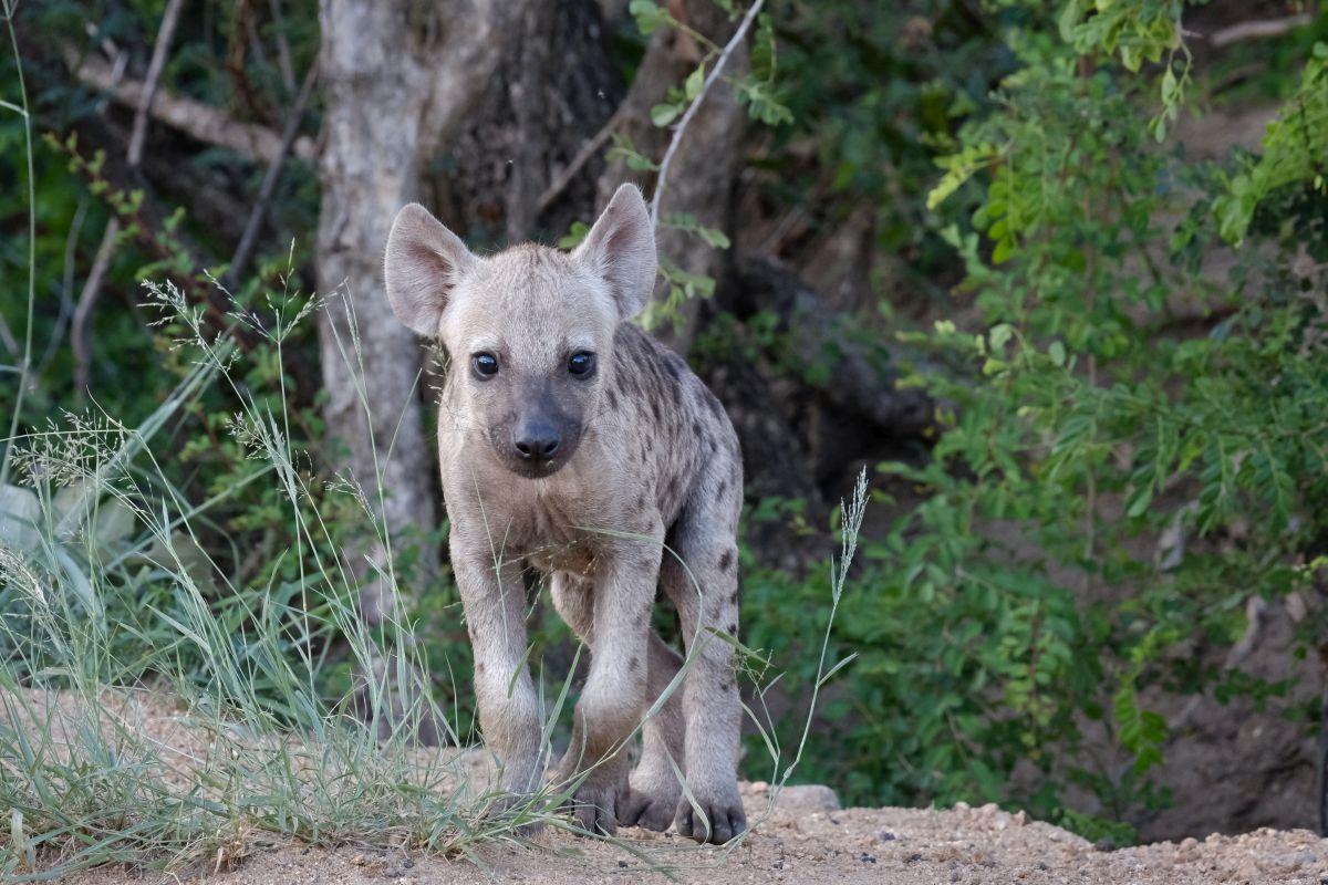 Een jonge gevlekte hyena in het wild., Getty Images