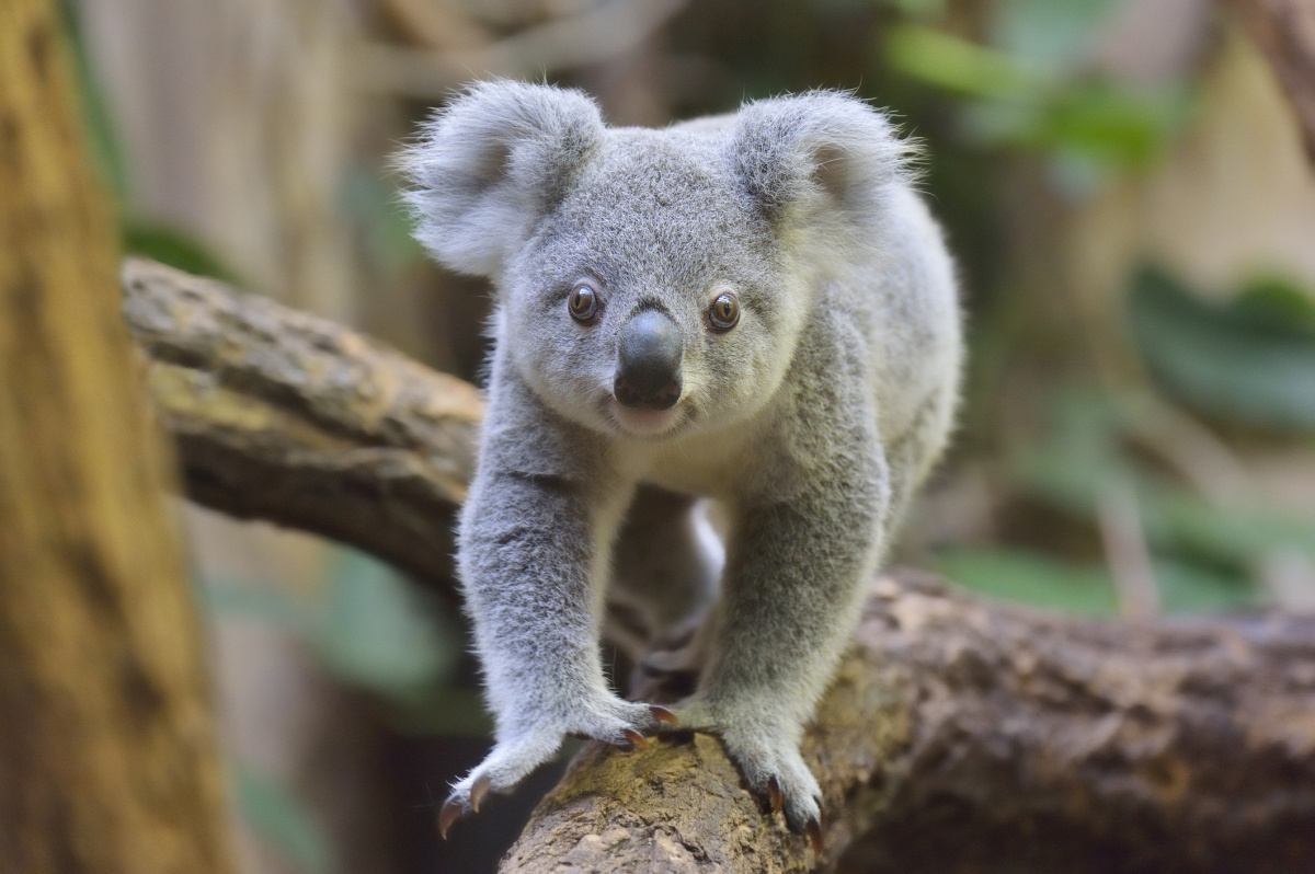 Koala, Getty Images