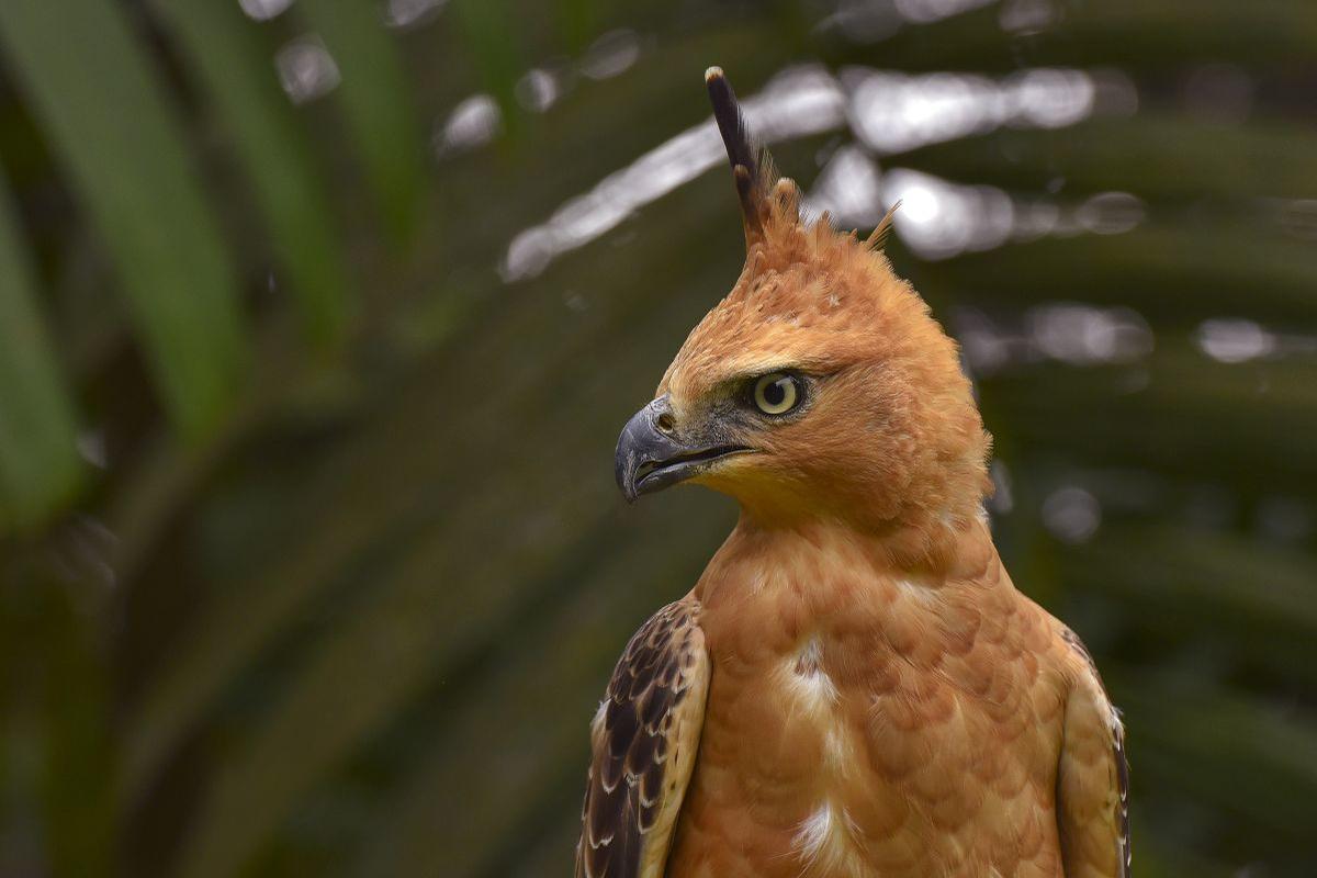 Javaanse kuifarend, Getty Images