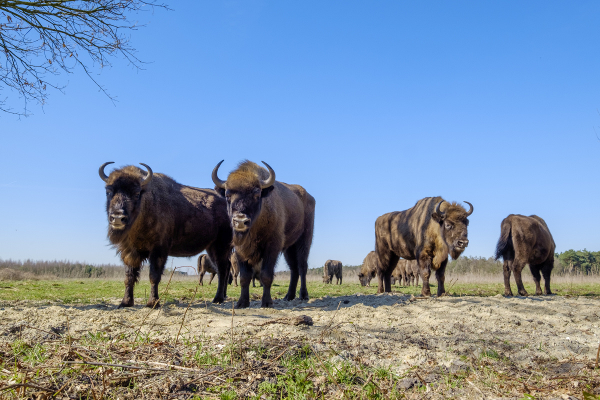 Wisent in de Maashorst, Getty Images