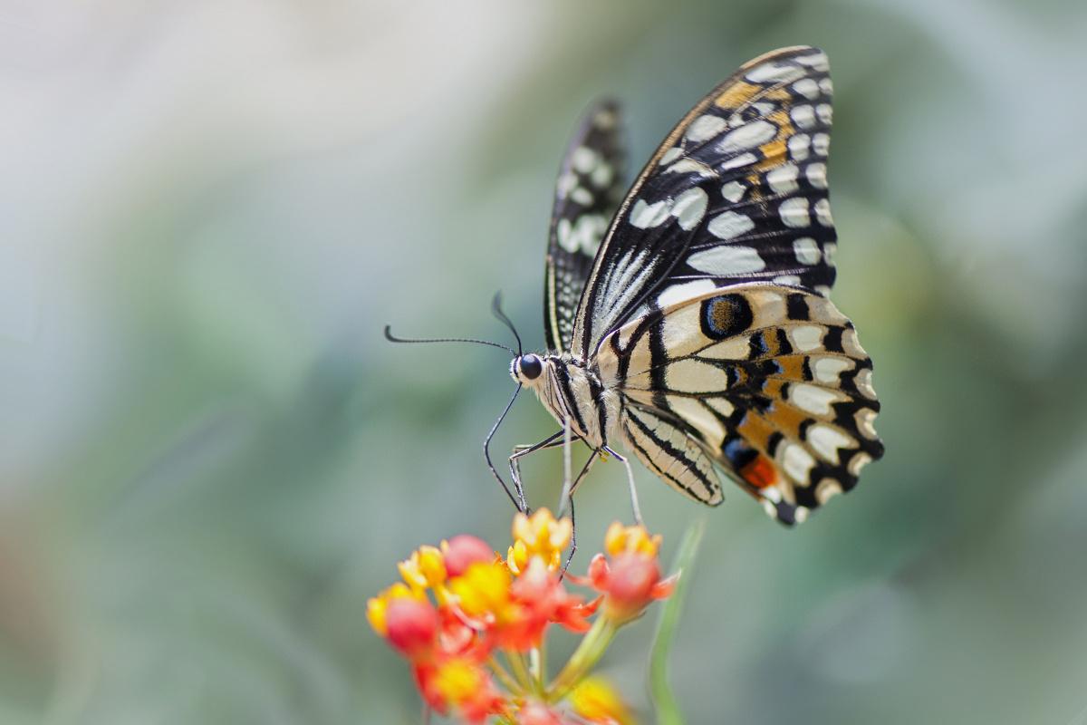 Vlinder, Getty Images