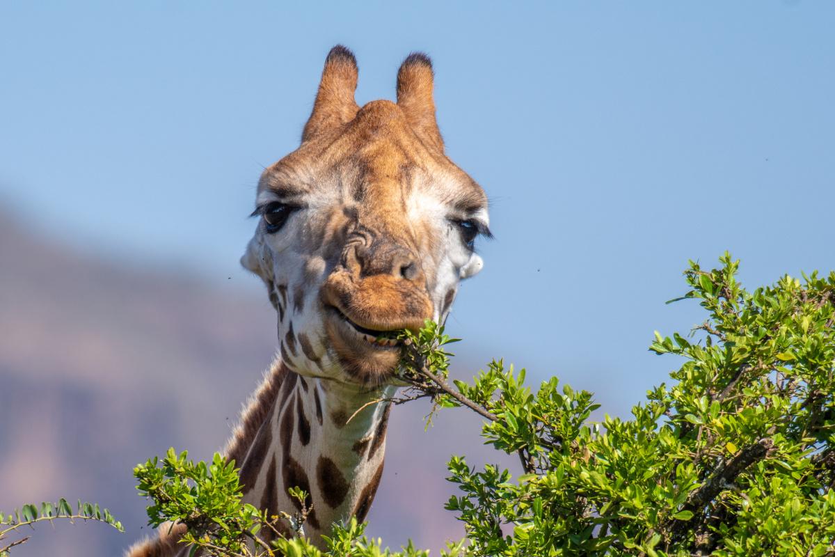 Giraf, Getty Images