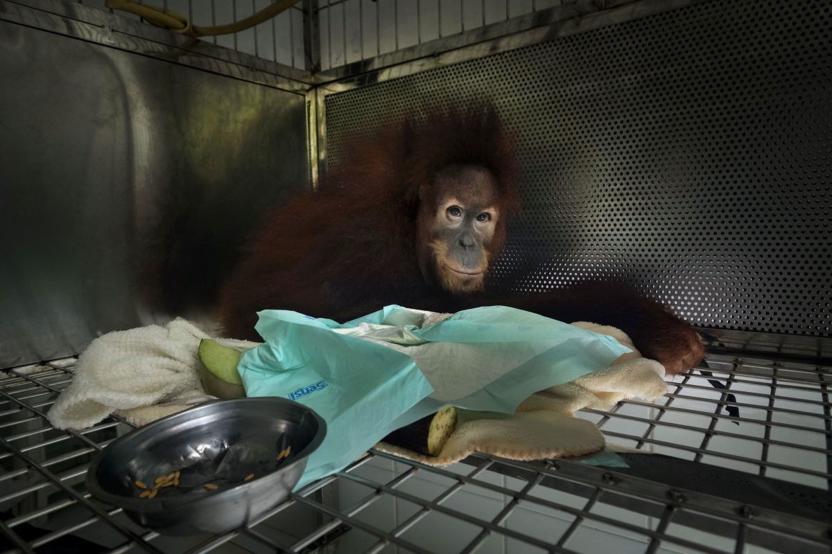 Alain Schroeder met zijn reportage 'Saving Orangutangs', Nikon Press Photo Awards 2020