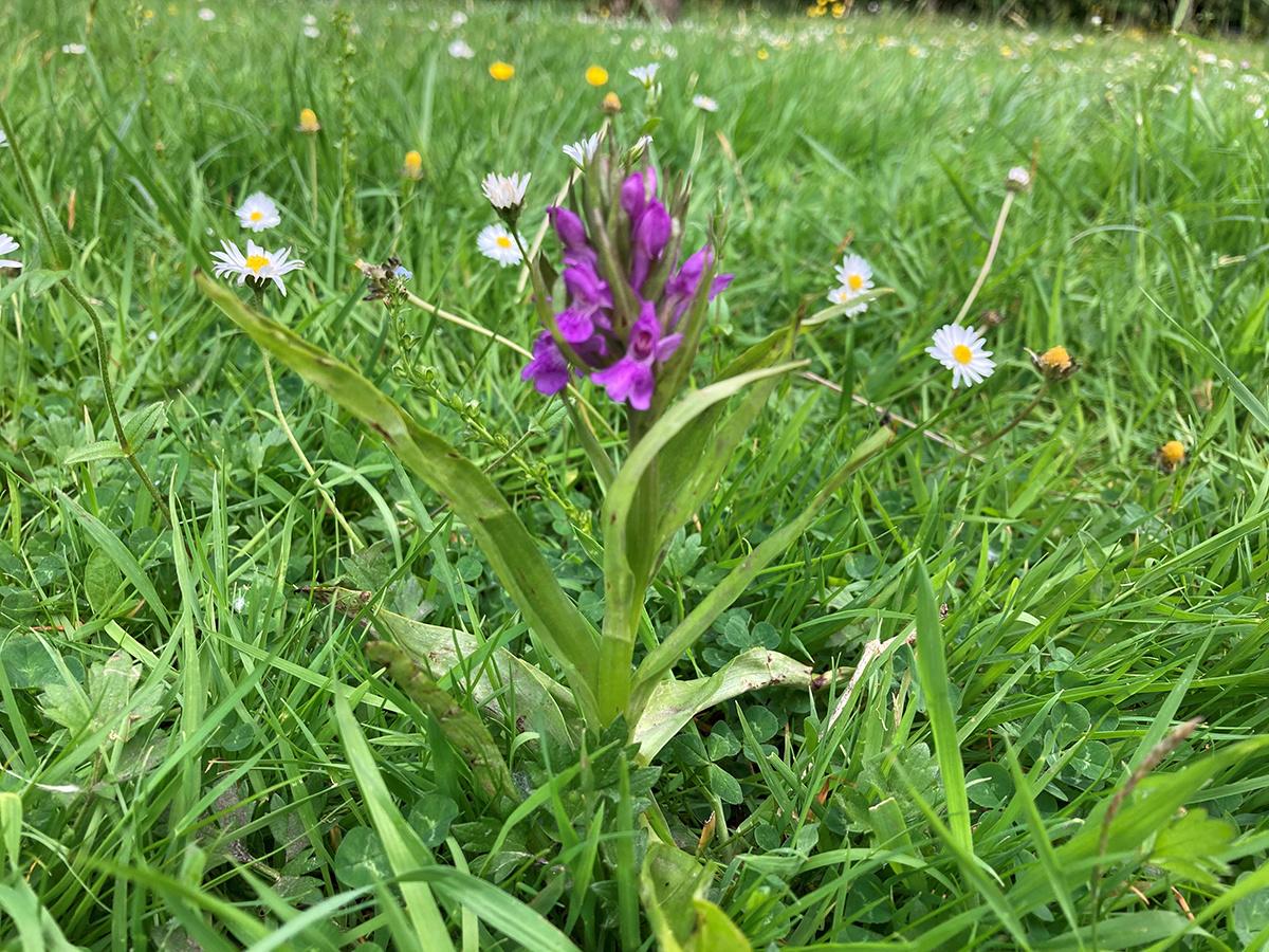 Een brede orchis, zomaar in het stadspark van Aalst. 'Dit is een heel bijzondere vondst in gazon', zegt hoofd van de groendienst Bart Backaert. 'Met dank aan Maai Mei Niet.', BB