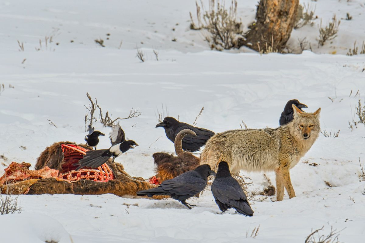 Raven, eksters en een coyote in Yellowstone, Getty Images