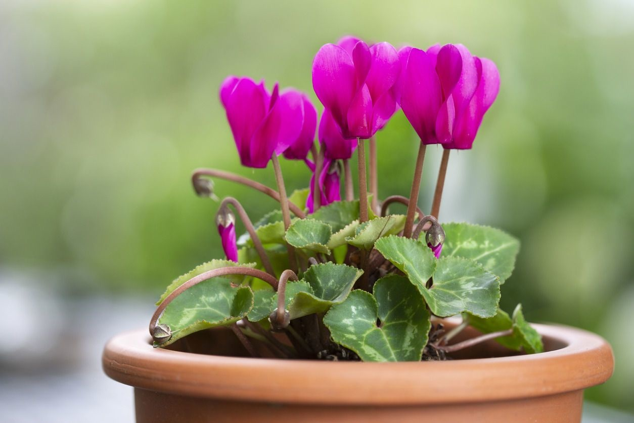 cyclamen, Getty Images/iStockphoto