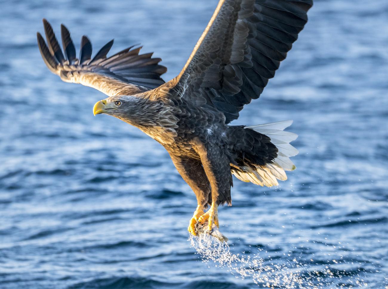 L'aigle des mers ou pygargue, que l'on trouve dans cette zone, Getty Images