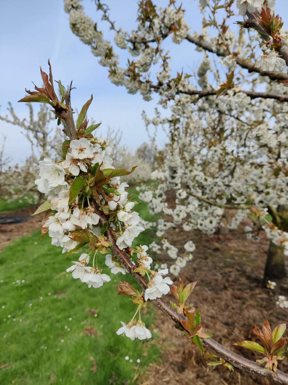 Baromètre arbres en fleurs CERISIER - photo prise le 9 avril 2021., visitsinttruiden.be